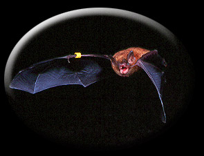 Bat exiting cave at night - Taken by Michael Kelly